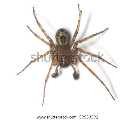 Web spider isolated on white background. Macro photo. #59553592