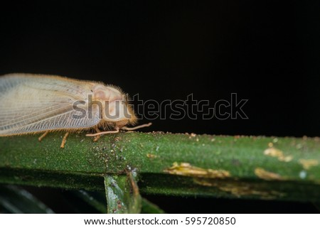 Lacewing Moth , Lacewing Moth of Borneo #595720850