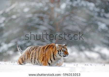 Running tiger with snowy face in wild winter nature. Action wildlife scene with dangerous animal. Cold winter in taiga, Russia. Snowflakes with beautiful Siberian tiger. #596311013