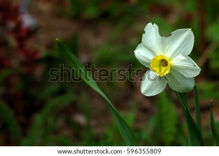 Blooming Narcissus growing in a spring garden.  #596355809