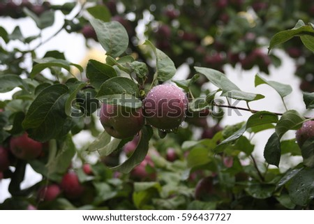 Apples on a branch #596437727