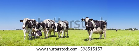 Black and white cows in a grassy field on a bright and sunny day in The Netherlands. #596515157