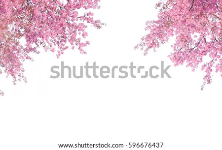 Cherry blossom frame use as background or for advertising in cherry blossom festival season #596676437