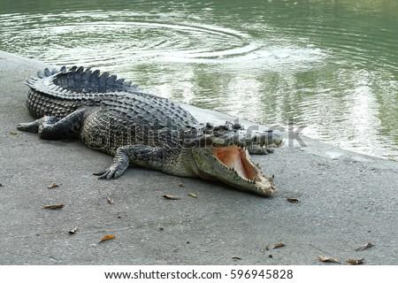 Crocodiles Resting at Crocodile Farm in Thailand Royalty-Free Stock Photo #596945828