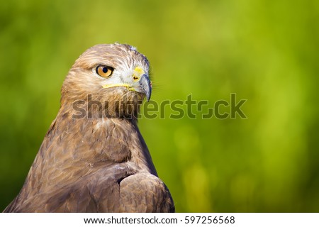 Hawk portrait. Green nature background. Long legged Buzzard. Buteo rufinus.