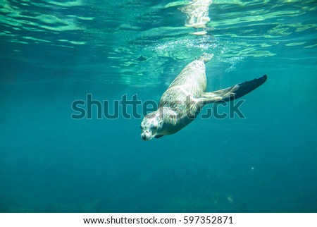 Underwater view of california sea lion diving #597352871