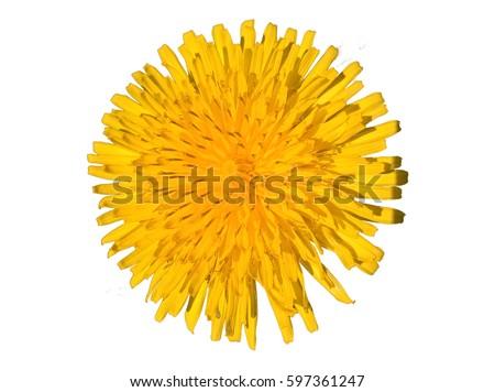 Dandelion (Taraxacum Officinale) Isolated. Yellow flower isolated. White background.