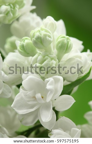 White lilac flowers background / full frame  #597575195