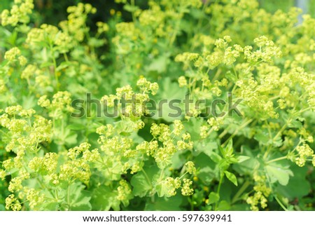 Closeup of Common a Mantle flowers ( Alchemilla mollis)  #597639941