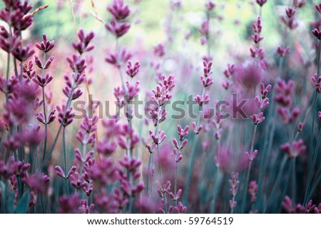 Beautiful detail of scented lavender flowers field perfect Radiant Orchid color in Provence France. Image for agriculture, perfume, cosmetics SPA, medical industries and diverse advertising materials #59764519