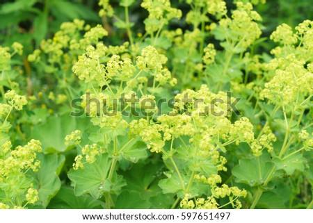 Closeup of Common a Mantle flowers ( Alchemilla mollis)  #597651497