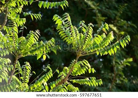 Phyllanthus acidus leaf on tree #597677651