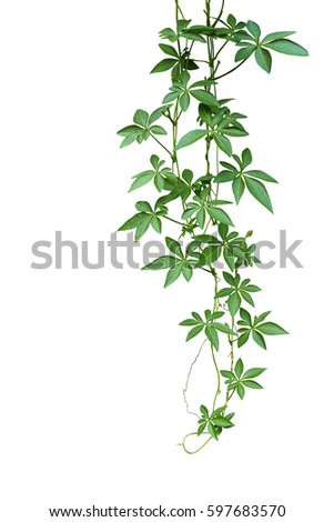 Wild morning glory climbing vine hanging with palmate green leaves and budding flower isolated on white background, clipping path included. #597683570