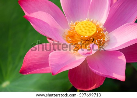 The Lotus Flower. Background is the lotus leaf and lotu flower and lotu bud and lotu flower #597699713