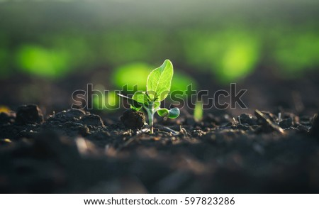 Natural organic foods crop growing in rich black soil.Agricultural plant sprout grows in dirt.Cultivated land crops in closeup.Natural organic food farm beds.Green environment & healthy eating concept