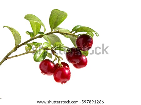 Cranberries with leaves.  Lingonberries. Branches forest cowberries isolated on white. #597891266