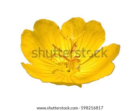 Primrose (Oenothera Pilosella) Isolated. Yellow flower isolated. White background.