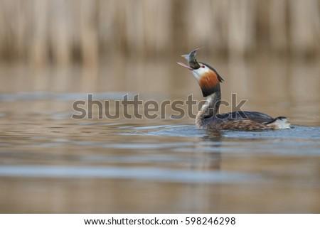 Great Crested Grebe, waterbird (Podiceps cristatus) in mating season #598246298