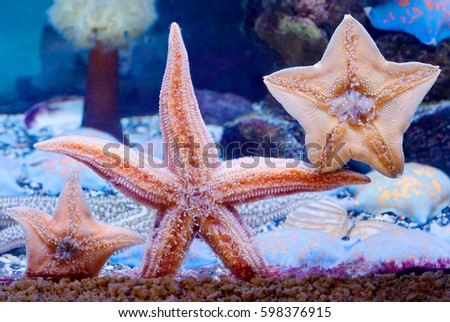 """Starfish All species of sea stars belong to the class of invertebrates and are representative of the type: """"echinoderms"""". Royalty-Free Stock Photo #598376915"""