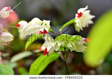 Clerodendrum flower or teardrop of christ in the garden #598604333