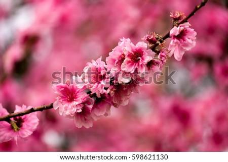 Cherry blossom #598621130