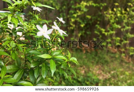 Philippine Jasmine flowers and leaves copy space.Beautiful national floral in the garden #598659926