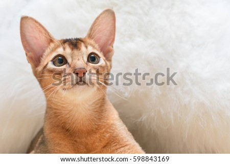 Beautiful Abyssinian cat under fluffy white blanket Royalty-Free Stock Photo #598843169