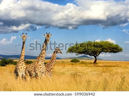 Close giraffe in National park of Kenya, Africa Royalty-Free Stock Photo #599036942