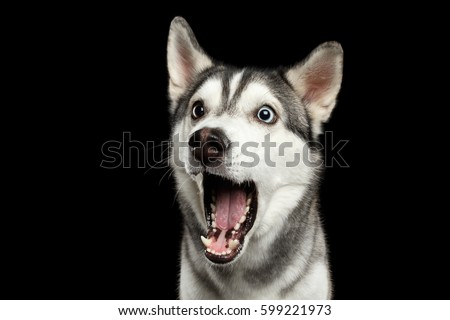 Portrait of Amazement Siberian Husky Dog opened mouth surprised on Isolated Black Background, front view Royalty-Free Stock Photo #599221973