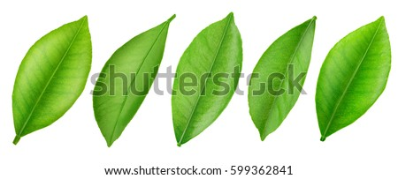 Citrus leaf isolated on a white