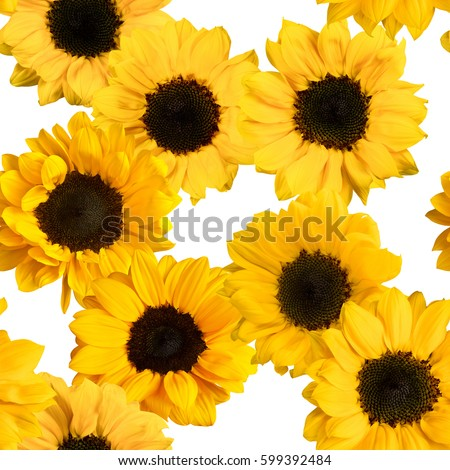 A seamless pattern with photos of shiny yellow sunflowers on white background #599392484
