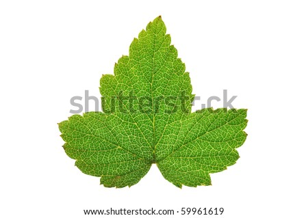 Currant leaf isolated on white background #59961619