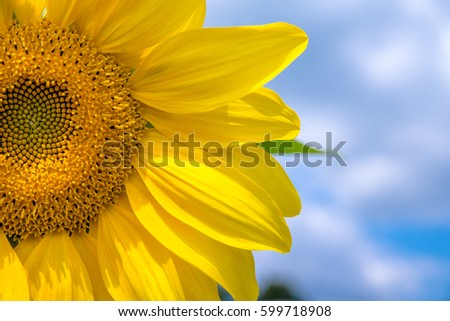 Sunflower flower on blue sky background closeup #599718908