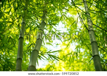 Bamboo branch in bamboo forest, beautiful green nature background Royalty-Free Stock Photo #599720852