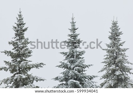 Three spruce trees with snow #599934041