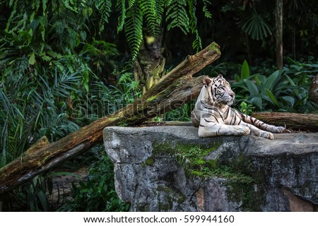 Forceful white tiger with blue eyes is resting on the rock on the plants background in the zoo in Singapore. Closeup photo. Horizontal.  Royalty-Free Stock Photo #599944160