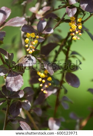 Berberis Ilicifolia. Branch of a blossoming barberry . yellow flowers (barberries) on bush. bee on a flower, #600123971