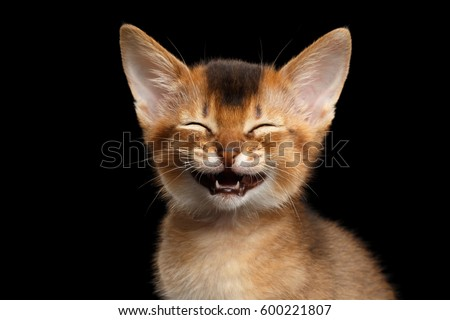 Laughs Abyssinian Kitty with funny closed eyes on Isolated Black Background Royalty-Free Stock Photo #600221807