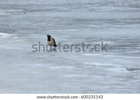 Single gray crow stands on the ice and croaks #600235142