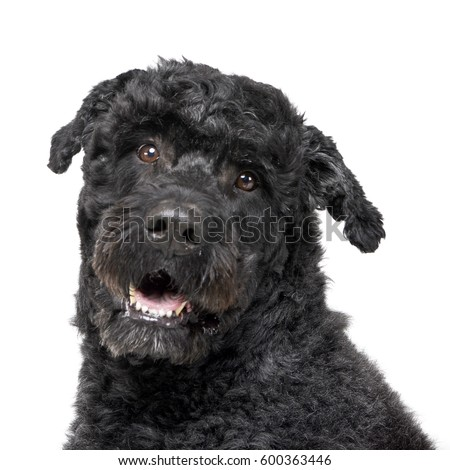 Portrait of an adorable mixed breed dog, studio shot, isolated on white. #600363446