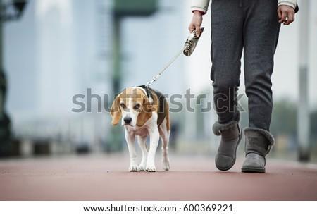 Beagle dogs #600369221