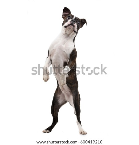 Studio shot of an adorable Boxer standing on two legs - isolated on white. #600419210