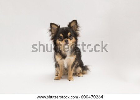 black and tan cream long coated Chihuahua isolated over white background   #600470264