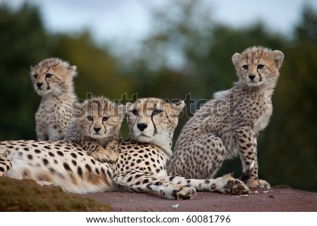 A mother Cheetah with three cubs sitting on a rock #60081796