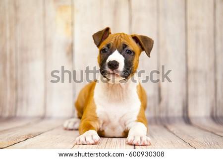 American staffordshire terrier puppy #600930308