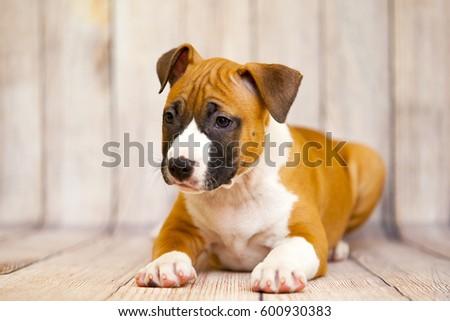American staffordshire terrier puppy #600930383