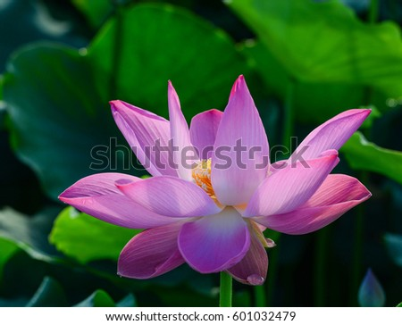 Close-up of lotus flower with green leaves background at sunrise #601032479