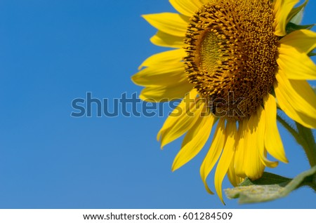 Sunflower with blue sky at sunflower field, Khao Jean Lae, Lopburi, Thailand. #601284509