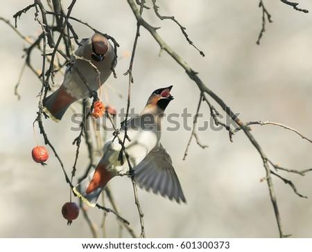 birds funny waxwings eating apples in the Park wide open beak #601300373