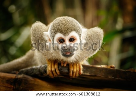 Look at Squirrel monkey in ecuadorian jungle in amazon #601308812